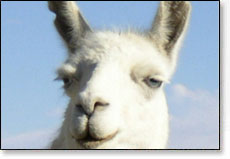Picture of The Llama Song